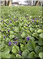 ST5769 : Violets at St Oswald's by Neil Owen