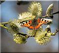 TM4996 : Small Tortoiseshell (Aglais urticae )  butterfly : Week 11