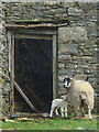 SD6388 : Ewe and lamb, Fellside by Karl and Ali