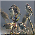 HP6208 : House Sparrows (Passer domesticus), Baltasound : Week 15