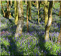 SU5678 : Bluebells starting to bloom near Ashampstead, Berkshire : Week 15