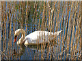 SK8336 : Mute swan among the reeds : Week 15