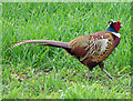 TA0610 : Pheasant in Wheat Field by David Wright