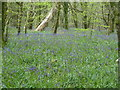 SX0864 : Lanhydrock - bluebells by Chris Allen