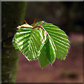 J4967 : Young beech leaves, Castle Espie by Rossographer