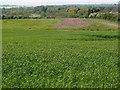 TL0897 : Wild flower margin on arable land by Michael Trolove