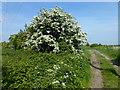 TL4777 : Flowering hawthorn bush on Pingle Way by Richard Humphrey