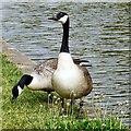 SJ9495 : Two Canada Geese : Week 20