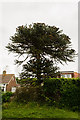 TQ6304 : Monkey Puzzle Tree, Rattle road, Westham by Julian P Guffogg