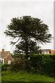 TQ6304 : Monkey Puzzle Tree, Rattle road, Westham by Julian P Guffogg