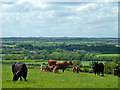 SP9029 : Cattle with a view by Robin Webster