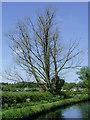 SO8697 : Dead ash tree near Castlecroft, Wolverhampton by Roger  Kidd