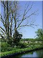 SO8697 : Dead tree by canal near Castlecroft, Wolverhampton by Roger  Kidd