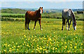 SX2351 : Horses amongst the buttercups, near Talland Bay, Cornwall by Edmund Shaw