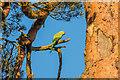 TQ2349 : Rose-ringed Parakeet (Psittacula krameri) by Ian Capper