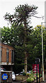 TR0142 : Monkey Puzzle Tree, Church Road, Ashford by Julian P Guffogg