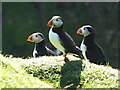 NC9265 : Puffins near Middle Clett : Week 28