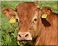 J3067 : Cattle, Lagan towpath, Drumbeg - July 2014(1) : Week 29