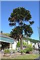 SO7746 : Monkey Puzzle Tree, Graham Road, Great Malvern by Julian P Guffogg