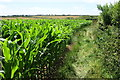 SW7013 : Field of maize near Trethvas Farm by Bill Boaden