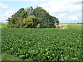 TL3795 : Sugar beet and copse near Hake's Drove by Richard Humphrey