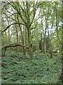 SW6536 : Carwynnen Woods by Rod Allday