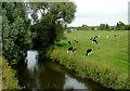 SJ9627 : Grazing by the River Trent near Weston, Staffordshire by Roger  Kidd