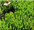 SU5369 : Moss, Bucklebury Common, Berkshire by Edmund Shaw
