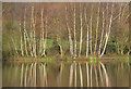 SK4848 : Reflected birches by Alan Murray-Rust