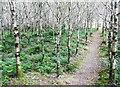 S4329 : Path through the plantation by Humphrey Bolton