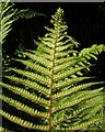 SX5185 : Male fern by the Granite Way by Derek Harper