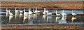 NJ2362 : Whooper Swans (Cygnus columbianus) by Anne Burgess