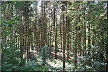 SE3257 : Conifers, Nidd Gorge by N Chadwick