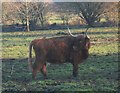 SJ7199 : Highland Cow in Lowland Boothstown by Anthony Parkes
