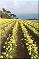 SW7828 : Daffodil field at Chenhalls by Rod Allday