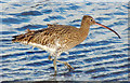 J3675 : Curlew, Victoria Park, Belfast (January 2015) : Week 4