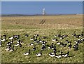 NU1342 : Brent Geese (Branta bernicla) by Russel Wills