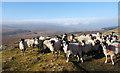 NY8609 : Sheep above Woofer Moor : Week 7