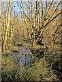 SX8174 : Damp woodland, Liverton by Derek Harper