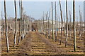 TQ6549 : Unused hop garden by Hatches Lane by Oast House Archive