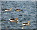 TG3504 : Greylag geese on the River Yare by Evelyn Simak