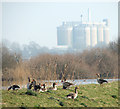 TG3604 : Greylag geese on the floodbank of the River Yare by Evelyn Simak