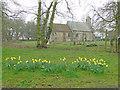 TL6453 : Daffodils on the roadside verge near Carlton church by Adrian S Pye