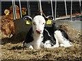 TL6800 : Calf at Fristling Hall Farm : Week 15