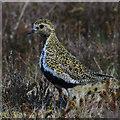 SE7294 : Golden plover, Bank Top : Week 17