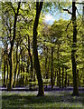 SU6887 : Beech trees and bluebells in Park Wood, Oxfordshire by Edmund Shaw