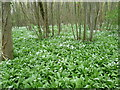 TR2555 : Ramsons in Loverswalk Wood : Week 18