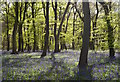SU6887 : Bluebell wood, Nuffield, Oxfordshire by Oswald Bertram