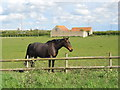 TF1503 : Horse with old barn off Hurn Road near Marholm by Paul Bryan