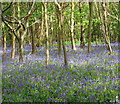 TM3499 : Bluebells in Sisland Carr : Week 19